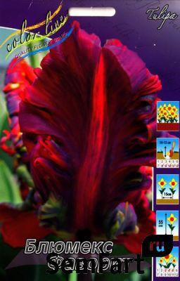тюльпан блюмекс фаворит фото
